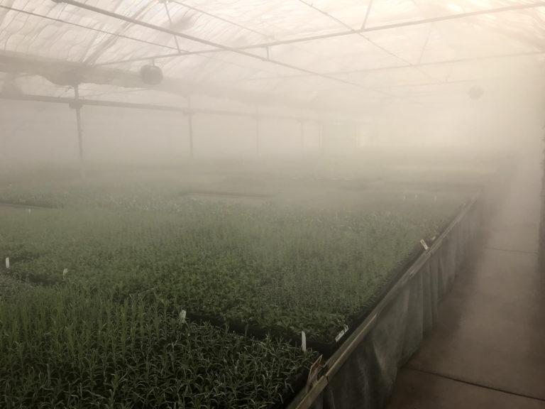 Fog Humidifies Cuttings